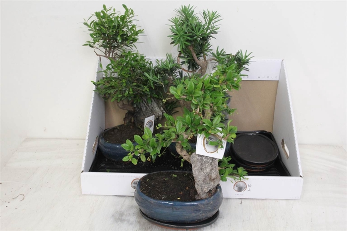<h4>Bonsai Gemengd With Rock Ceramic With Saucer #</h4>