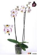 <h4>Phalaenopsis blanca 1 tallo</h4>
