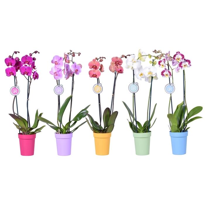 <h4>Phalaenopsis gemengd 5 kleuren</h4>