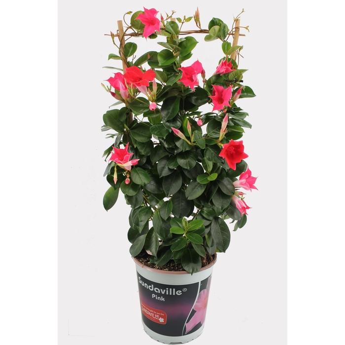 <h4>Sundaville 19 cm roze rek</h4>