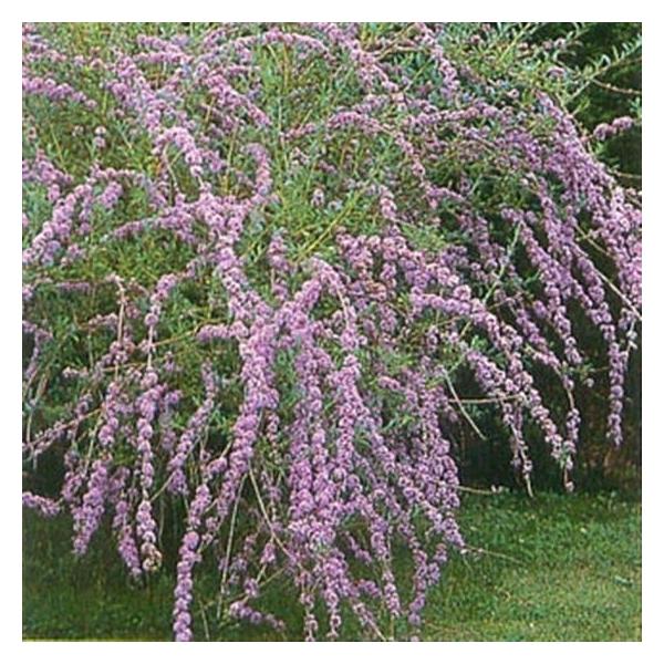 <h4>Buddleja alternifolia 'Unique'</h4>