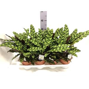 Calathea Lancifolia 14Ø 30cm