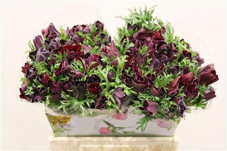 <h4>Anem Brandy Violet</h4>