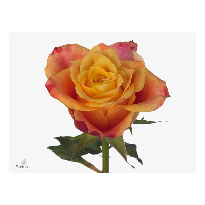 <h4>单头玫瑰 塔玛拉</h4>