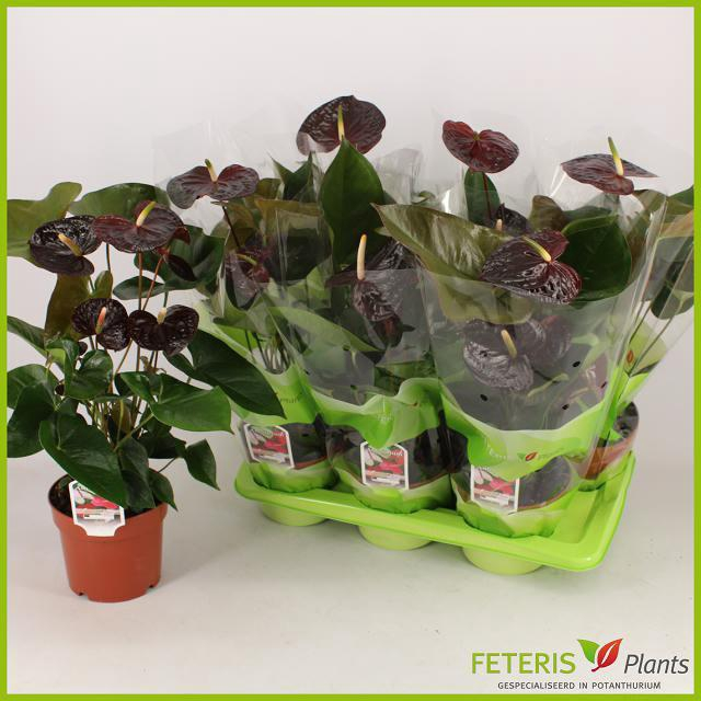 Anthurium Sempre 17Ø 60cm 5+ kwiatów