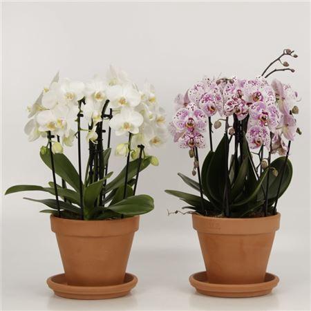 <h4>Phalaenopsis Sixboga Gemengd 21cm Pot Met Schotel</h4>