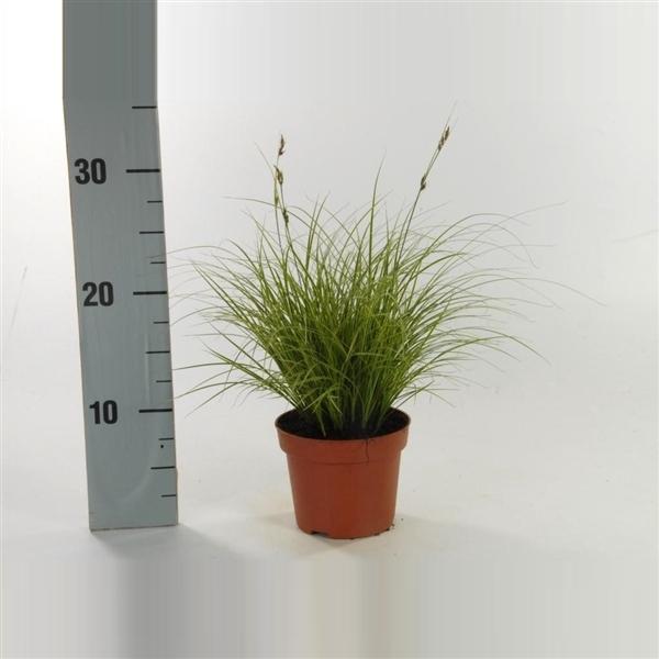 <h4>Carex brunnea 'Jubilo' p12</h4>