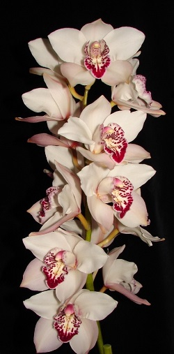 Cymbidium White 5/7 Bl p stem