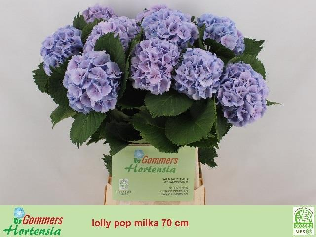 <h4>HYDR M LOLLY POP BL</h4>
