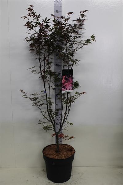 <h4>Acer palmatum 'Bloodgood'</h4>