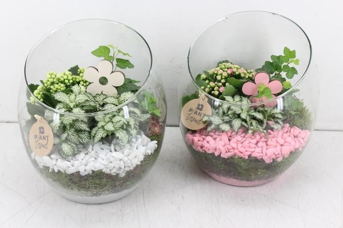 <h4>arr. PL - Glas spider - roze/wit</h4>