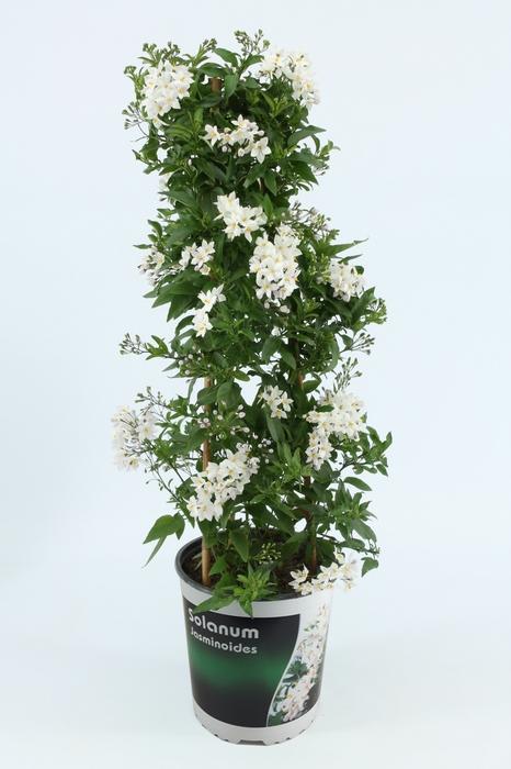 <h4>Solanum Jasminoides piramide</h4>