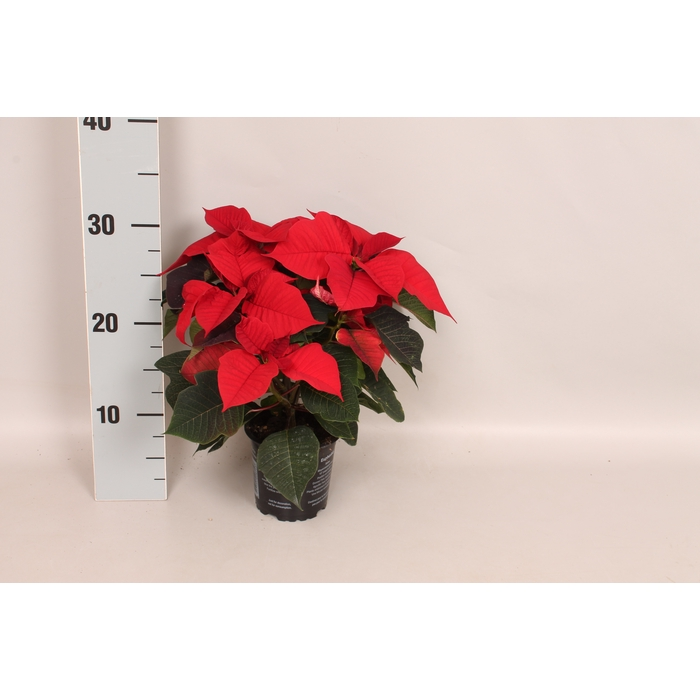 <h4>Poinsettia 10,5 cm Mirage Red</h4>