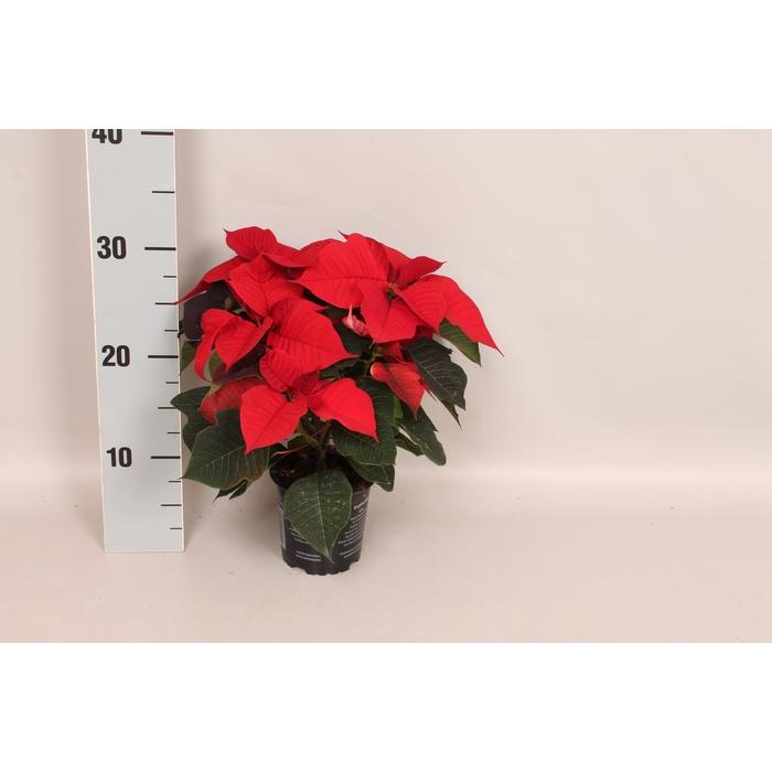 <h4>Poinsettia 10,5 cm Sigma Red</h4>