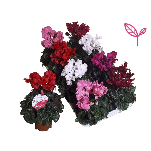 <h4>Cyclamen-Special-Merengue Mix</h4>