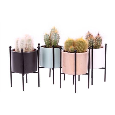 <h4>Cactus Luxury Gr Selta 8,5 Cm</h4>