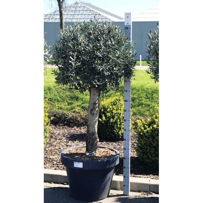 <h4>Olea bonsai</h4>