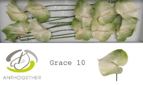 <h4>Anthurium andr. 'Grace'</h4>