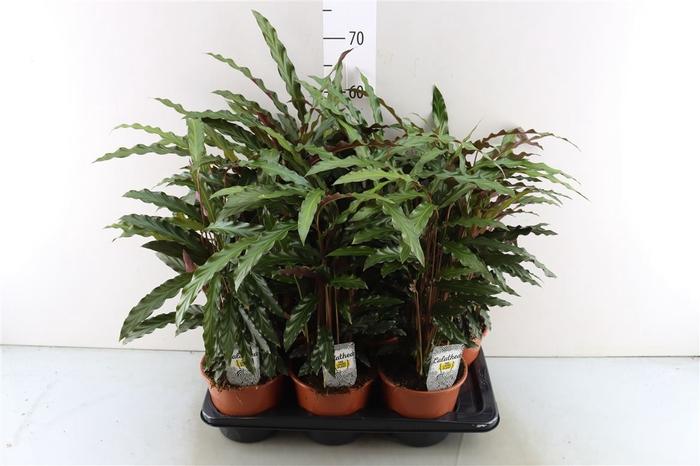 <h4>Calathea Elgergrass</h4>