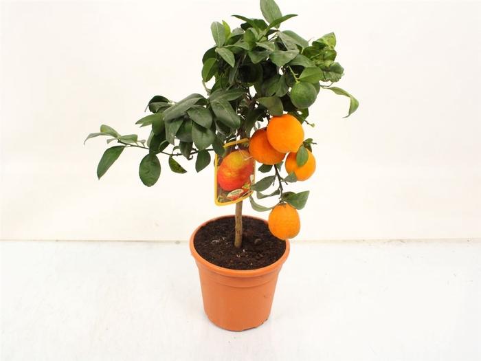 <h4>Citrus Limetta Rossa Di Rangpur Stem</h4>