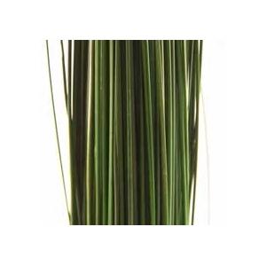 Ginerium green oriental stabi