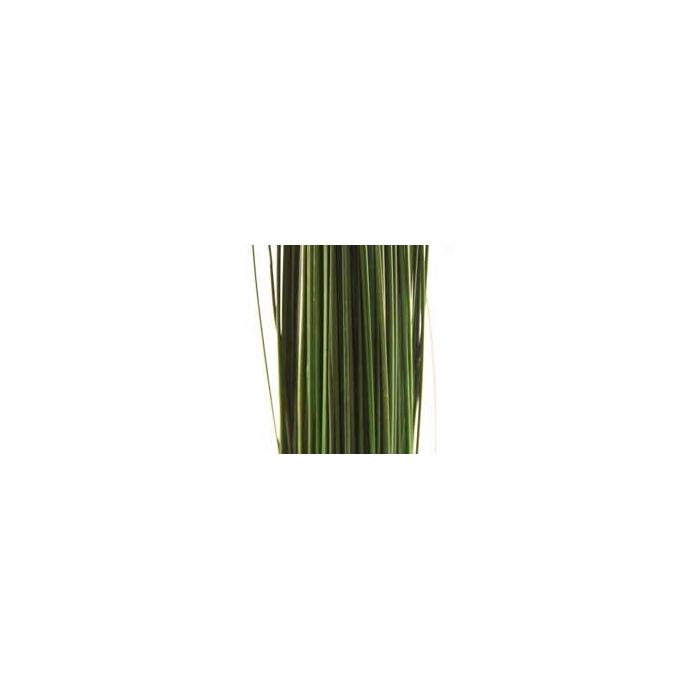 <h4>Ginerium green oriental stabi</h4>