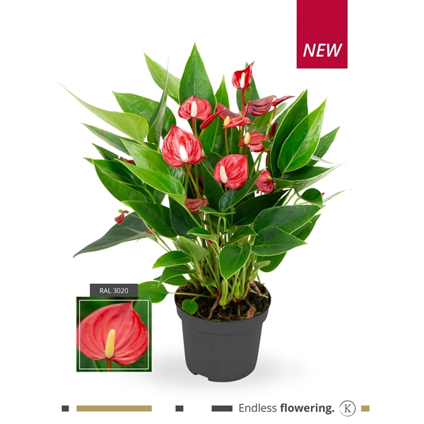 <h4>Anthurium Karma Million Flowers Red</h4>