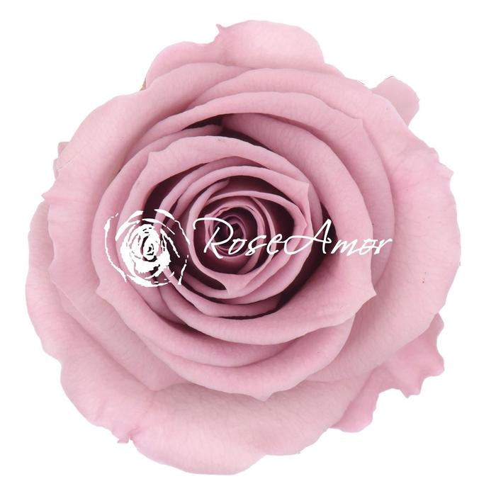 <h4>PRESERVED ROSA MINI WARMI VIO 02</h4>