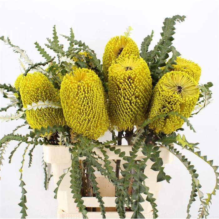 <h4>Banksia Speciosa Yellow</h4>