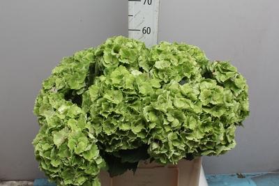 <h4>Hortensia Hyd. .Green</h4>