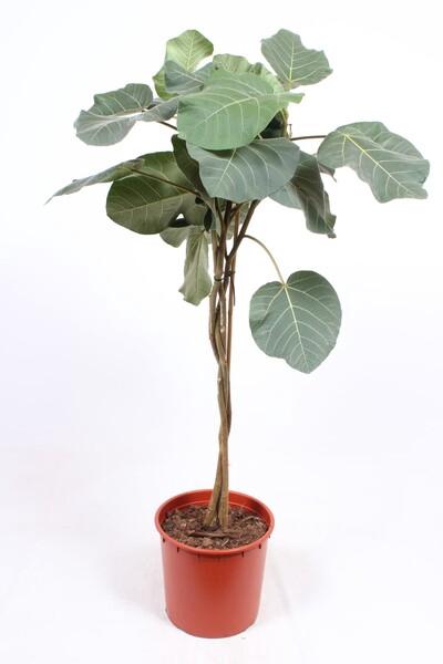 <h4>Ficus auriculata Everest</h4>