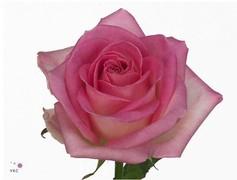 <h4>Rose Avalanche Sorbet</h4>