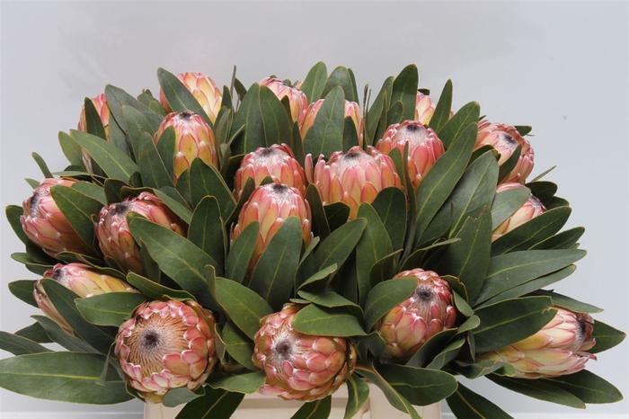 <h4>Protea Susara</h4>