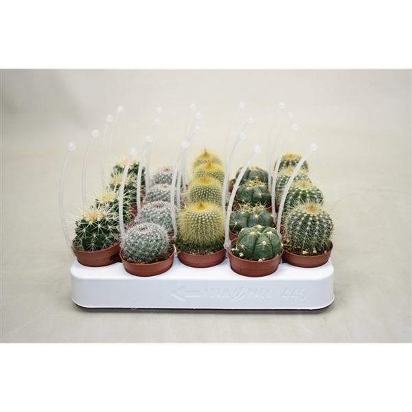 <h4>Bolcactus mix 5,5 cm. met picker</h4>