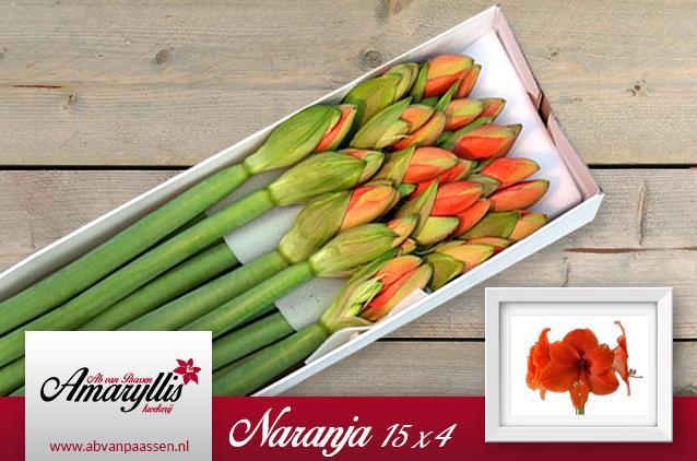 <h4>Amaryllis Naranja</h4>