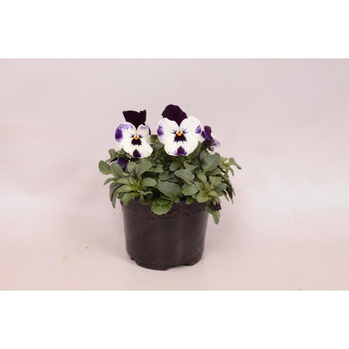 <h4>Viola cornuta sixpack F1 Mickey</h4>