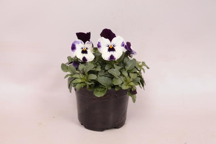 Viola cornuta F1 Mickey