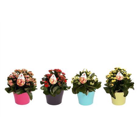 <h4>Gardenlina In Gekleurde Pot 15 Cm</h4>