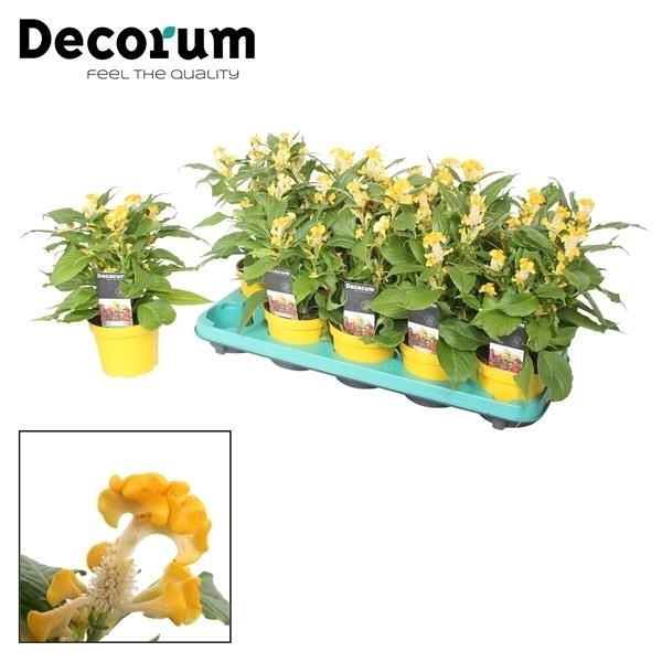 <h4>Celosia Hot Topic Yellow + etiket</h4>