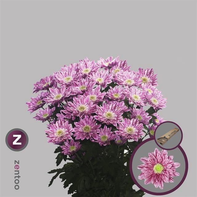<h4>Chrysanthemum TR 'Serenity'</h4>