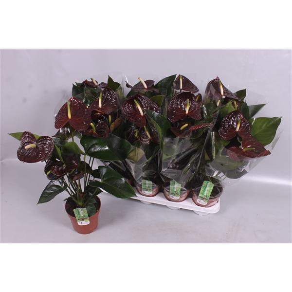 <h4>Anthurium andr Sempre</h4>