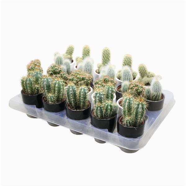 <h4>Cactus mix 5,5 cm. in wit,zwart en grijze pot</h4>