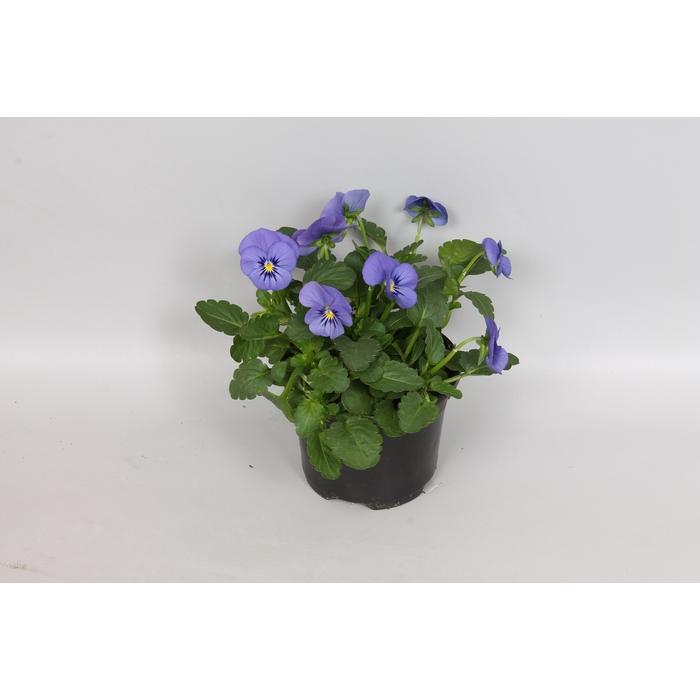 <h4>Viola cornuta F1 True blue</h4>