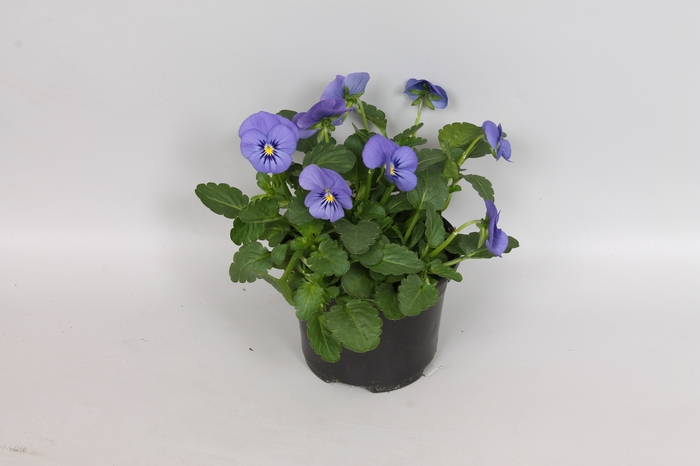 Viola cornuta F1 True blue