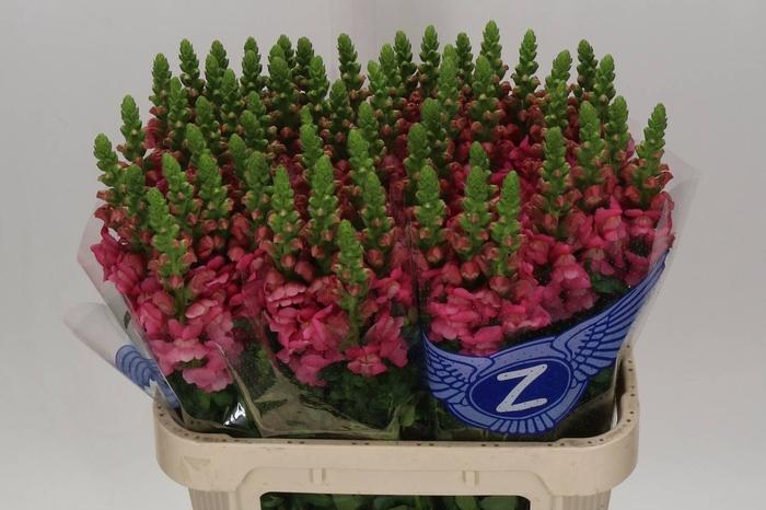 <h4>Antirrhinum Avignon Cherry Rose</h4>