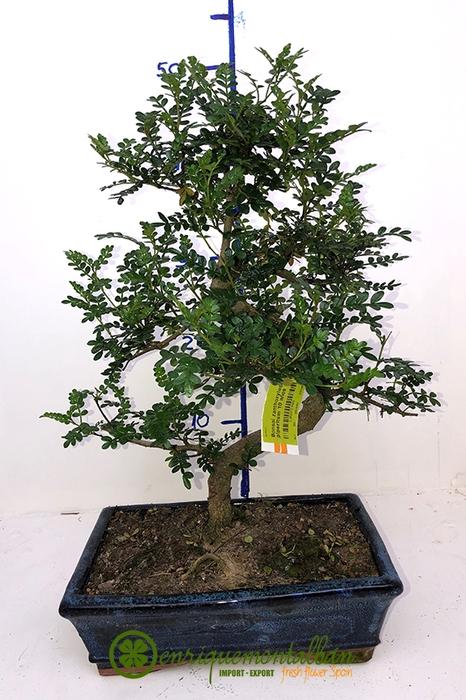 <h4>Bonsai zanthoxylum piperitum 6 años</h4>