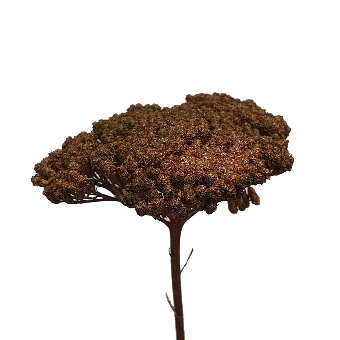 <h4>Achillea Copper</h4>