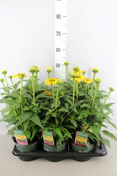 <h4>Echinacea  'Sombrero Lemon Yellow'</h4>