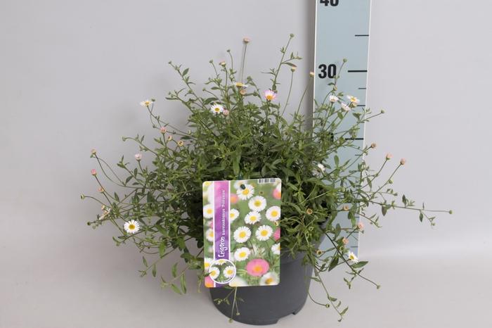<h4>vaste planten 19 cm  Erigeron Profusion</h4>