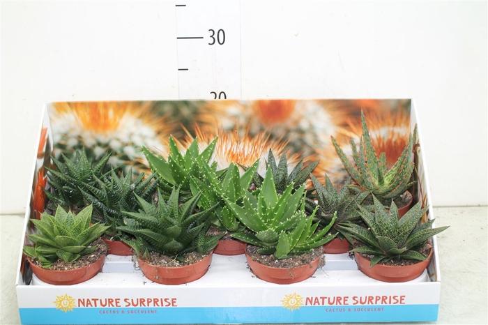<h4>Aloe Gemengd Showdoos</h4>